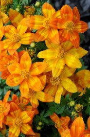 Bidens ® Hot & Spicy
