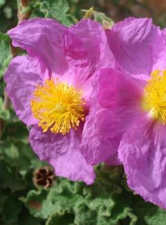 Czystek różowy (Cistus Incanus L.)