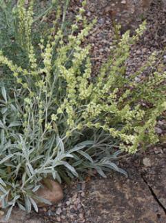 Gojnik scardica, Grecka Górska Herbata (Sideritis scardica)