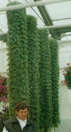 Bluszczyk kurdybanek (Glechoma hederoides)