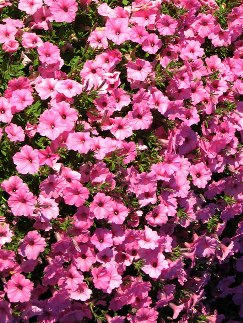 Supertunia Vista Bubblegum