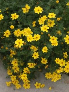 Bidens (Uczep), (Bidens aurea)