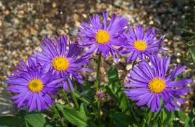 Aster Andersona