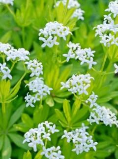 Przytulia wonna; Marzanka wonna  (Galium odoratum)