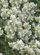 "Mięta Górska  ""Hairy Mountain Mint"" (Pycnanthemum Pilosum)"