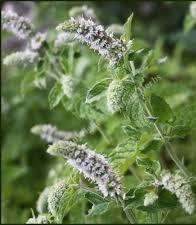 Mięta srebrna  (Mentha longifolia 'Silver Mint')
