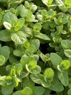 Mięta zielona, mięta kłosowa  (Mentha spicata)