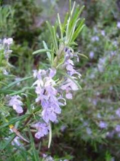 Rozmaryn  (Rosmarinum officinalis)