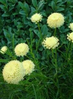 Ziele oliwne (Santolina viridis)