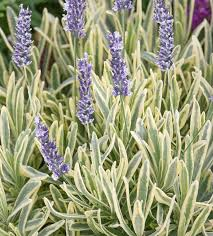 Lawenda wąskolistna Platinum Blonde  (Lavandula angustifolia)
