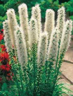 Liatria kłosowa Floristan White  (Liatris spicata)