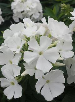 Płomyk wiechowaty Early White (Phlox paniculata)