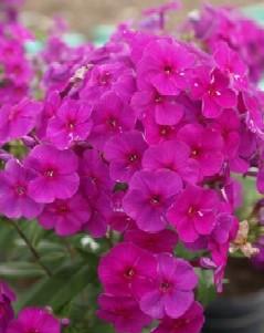 Płomyk wiechowaty Purple Flame (Phlox paniculata)