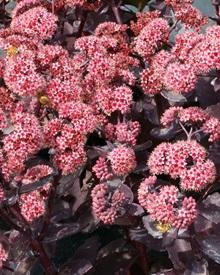 Rozchodnik miłosny Cherry Truffle  (Sedum telephium)
