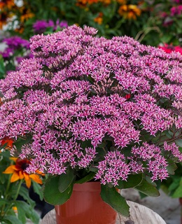 Rozchodnik Cloud Walker (Sedum spectabile )