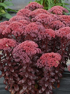 Rozchodnik wielki Dark Magic  (Sedum telephium)