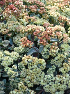 Rozchodnik wielki Desert Blonde  (Sedum telephinum)