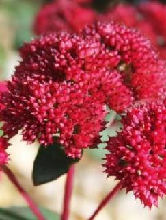 Rozchodnik wielki Desert Red  (Sedum telephinum) (Kopia)
