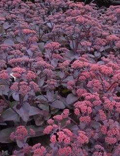 Rozchodnik wielki Raspberry Truffle  (Sedeum telephium)