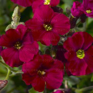 Żagwin Axcent Dark Red (Aubrieta)