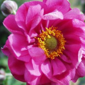 Zawilec japoński Margarete  (Anemone hupehensis)