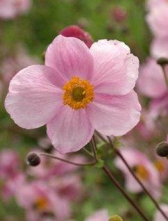 Zawilec japoński Pink Saucer (Anemone hupehensis)