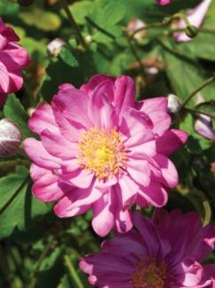 Zawilec japoński Pretty Lady Julia  (Anemone hupehensis)