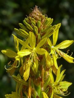 Złotnica żółta  (Asphodeline lutea)