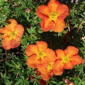 Pięciornik krzewiasty'Tangerine'