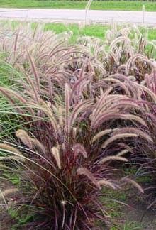 Rozplenica obca 'Rubrum' Pennisetum advena