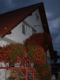 Pelargonia zwisła czerwona duża sadzonka
