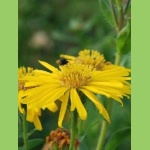 "Aster ""Golden Sunshine"""