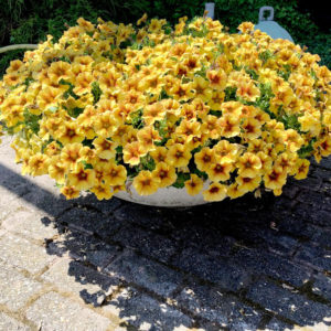 Calibrachoa Beautical Camel Yellow