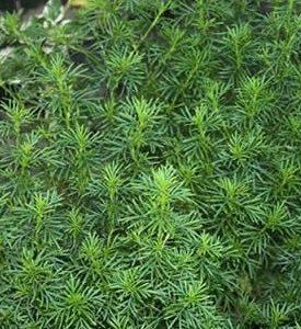 Aksamitka lukrecjowa (Tagetes fili folia)