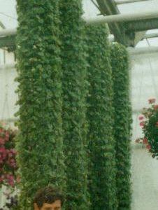 Bluszczyk kurdybanek (Glechoma hederoides) 10-cio pak