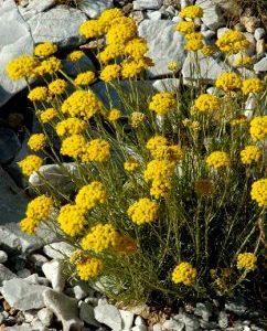 Kocanka włoska         (Helichrysum Italicum)