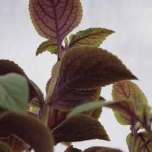 Plectrantus Nico (Plectranthus ciliatus)