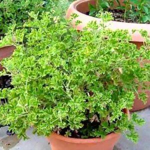 Pelargonia, Anginka (Pelargonium x citrosum)