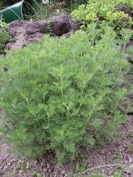 Bylica Boże drzewko 'Cola Bush'  (Artemisia procera)