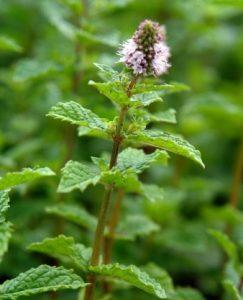 Mięta Marokańska  (Mentha spicata var. Moroccan Mint)