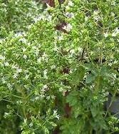 Oregano greckie (Origanum vulgare ssp.)