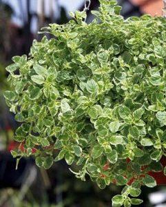 Oregano Pstre  (Origanum vulgare ' Variegata')