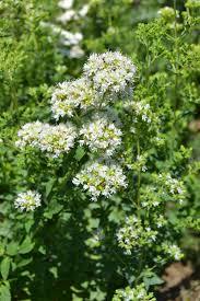 Oregano syberyjskie (Origanum vulgare ssp.)