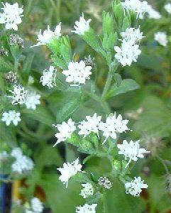 Stewia (Stevia rebaudiana)