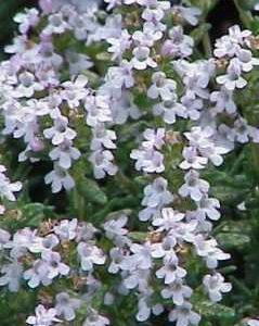 Tymianek ogrodowy  (Thymus)