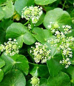 Wąkrota azjatycka; Gotu kola  ( Centella asiatica L.)
