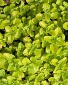 Oregano plamiste  (Origanum vulgare 'Aureum Variegata')