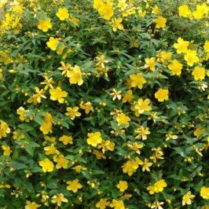 Dziurawiec wielkokwiatowy Hidcote Gold