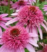 Jeżówka Pink Bonbon  (Echinacea)