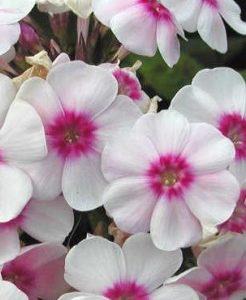 PŁomyk wiechowaty EUROPA (Phlox paniculata)